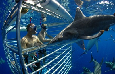 Swimming With Shark In Hawaii